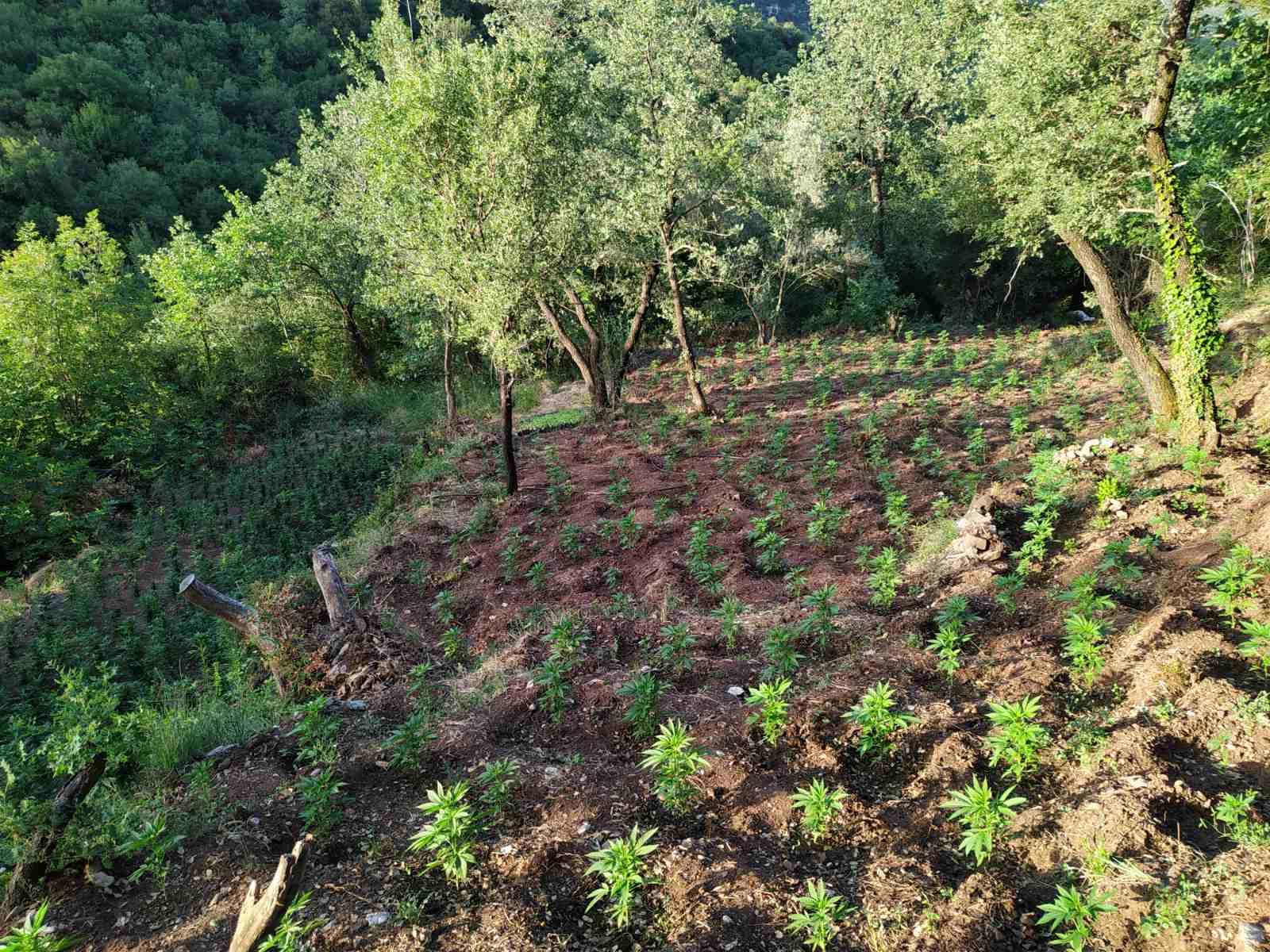 28-6-2021 Εντοπίστηκε μεγάλη οργανωμένη φυτεία κάνναβης, με (4.325) δενδρύλλια και φυτά σε δύσβατη δασική περιοχή της Ανδρίτσαινας (1)
