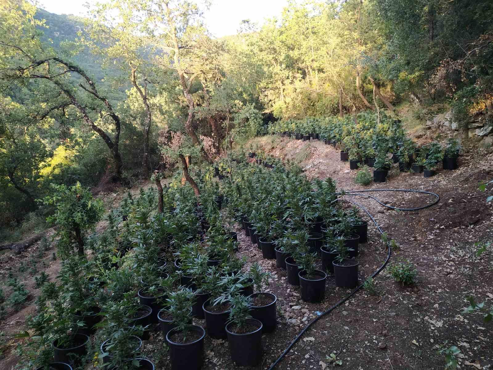 28-6-2021 Εντοπίστηκε μεγάλη οργανωμένη φυτεία κάνναβης, με (4.325) δενδρύλλια και φυτά σε δύσβατη δασική περιοχή της Ανδρίτσαινας (9)